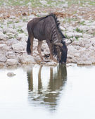 Wildebeest drinking at a waterhole, Etosha National Park — Stock Photo
