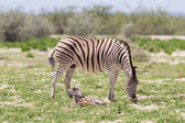 Burchells zebra (Equus Burchelli) with young — Stock Photo