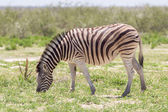 Burchells zebra (Equus Burchelli) — Foto Stock