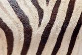 Burchells zebra (Equus Burchelli), close-up — Stock Photo
