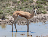 Antilopa skákavá antilopa (antidorcas marsupialis), close-up, pití — Stock fotografie