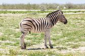 Burchells zebra (Equus Burchelli) — Stockfoto