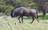 Wildebeest walking the plains of Etosha National Park — Stock Photo