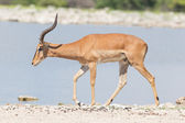 Male black-faced impala (Aepyceros melampus petersi) — Stock Photo