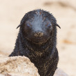 Stock Photo: Cape fur seal (Arctocephalus pusillus)