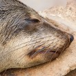 Cape fur seal (Arctocephalus pusillus) — Stock Photo