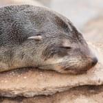 Cape fur seal (Arctocephalus pusillus) — Stock Photo