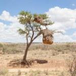 Weaver bird nest in Namibia, Africa — Stock Photo