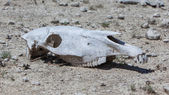 Zebra skull on the ground in Etosha national park — Stock Photo