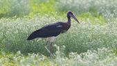 Abdim's Stork (Ciconia abdimii) in Etosha National Park — Zdjęcie stockowe