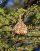 Nest of a yellow masked weaver — Stock Photo