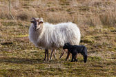 Adult sheep with black and white lamb — Stockfoto