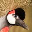 Crowned crane with a human eye — Stock Photo