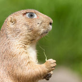 Prairie dog with a human eye — Stock Photo