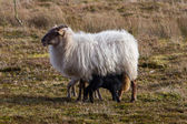 Adult sheep with black and white lamb — Stock Photo