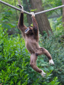 Lar Gibbon, or a white handed gibbon — Stock Photo