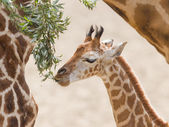Young giraffe eating — Stock Photo