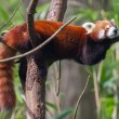 Постер, плакат: Red Panda Firefox or Lesser Panda