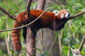 Red Panda, Firefox or Lesser Panda  — Stock Photo