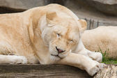 Female African white lion resting — Stock Photo