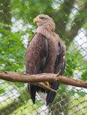Vit tailed eagle — Stockfoto