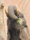 Elephant eating grass  — Foto Stock