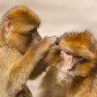 ������, ������: Two mature Barbary Macaque grooming