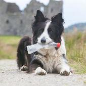 Border collie sheepdog waiting — Stock Photo