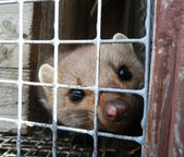 Marten in the cell — Stock Photo