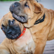 Stock Photo: Two little puppies Bullmastiff