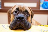 Little puppy bullmastiff — Stock Photo