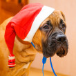 Little puppy bullmastiff - Stock Photo