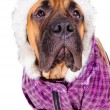 Royalty-Free Stock Photo: Bullmastiff puppy dressed