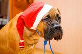 小さな子犬ブルマスティフ — ストック写真