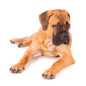 Bullmastiff pup liegen — Stockfoto