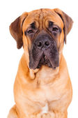 Bullmastiff puppy face — Stock Photo
