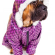 Bullmastiff puppy dressed — Stock Photo