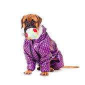 Bullmastiff puppy dressed — Stock Photo