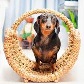 Happy dog - dachshund — Stock Photo