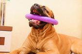 Junior puppy bullmastiff — Stock Photo