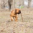 Junior dog bulmastiff — Stockfoto