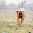Junior dog bulmastiff — Stock Photo