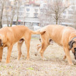 Puppy and adult  bullmastiff — Foto de Stock