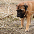 Adult dog bulmastiff — Stock Photo