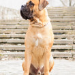 Stock Photo: Junior bullmastiff dog