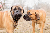 Puppy and adult bullmastiff — Stock Photo
