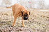 Junior puppy bullmastiff — Stock Photo