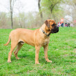 Stock Photo: Junior puppy bullmastiff