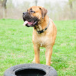 Stock Photo: Junior dog bulmastiff