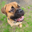 Stock Photo: Bullmastiff dog portrait